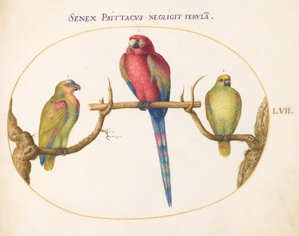 Plate 57: Scarlet Macaw with Two Smaller Green Parrots