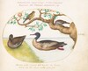 Plate 35: Female Green-Winged Teal, Red-Breasted Merganser(?), Sparrow, and a Greenfinch(?)