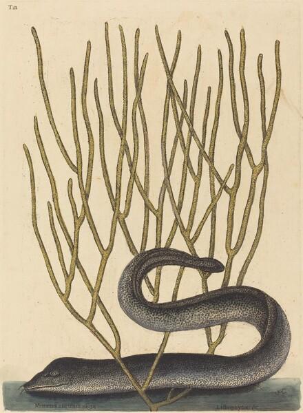 The Black Muray (Muraenae helenae varietas)