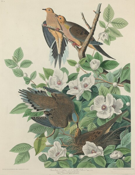 Carolina Pigeon or Turtle Dove