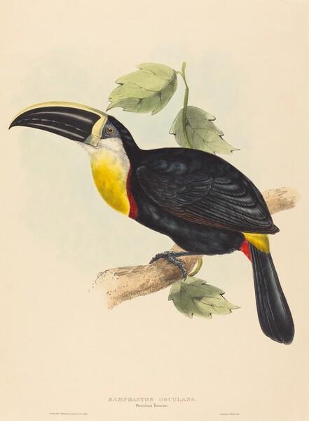 Osculant Toucan (Ramphastos osculans)