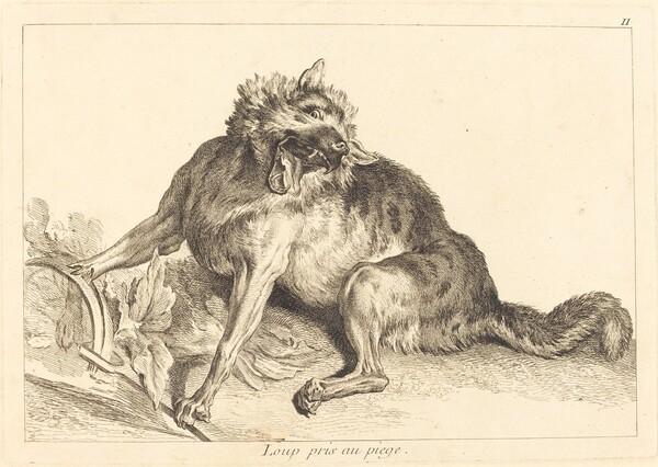 Loup pris au piege (Wolf Caught in a Trap)