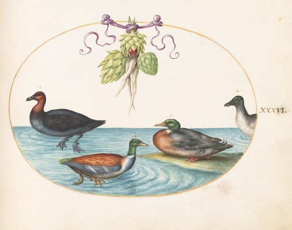 Plate 36: Red-Breasted Merganser, Shoveler, and Two Other Water Birds with Artichokes