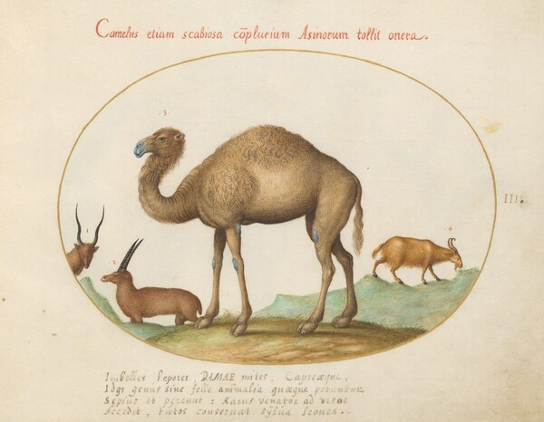 Plate 3: Camel, Ibex, and Goat