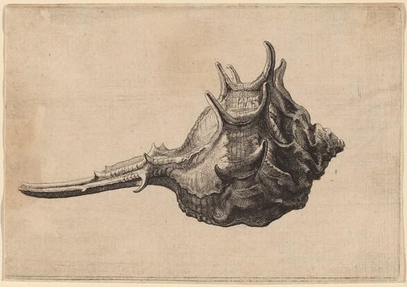 Shell (Murex brandaris)