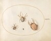 Plate 36: Three Large Spiders and One Small Spider