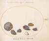 Plate 58: Shells, including Abalone(?)