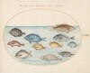 Plate 23: Bream(?) and Other Fish