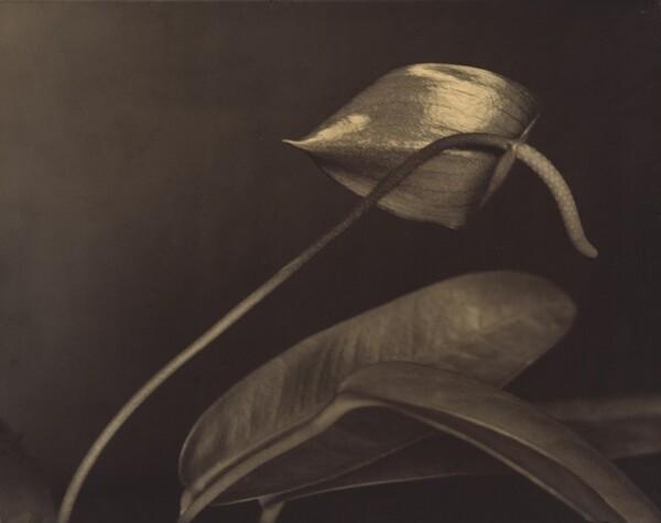 Ohne Titel (Anthurium) (Untitled [Anthurium])