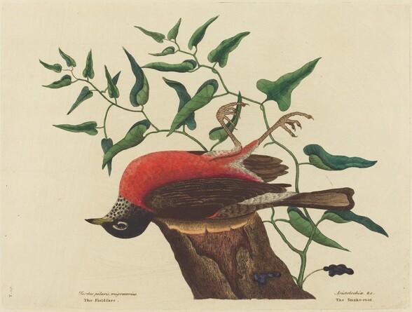 The Fieldfare of Carolina (Turdus migratorius)