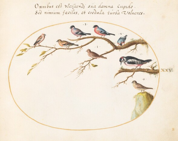 Plate 25: Great Spotted Woodpecker, Bullfinches, Sparrows, and Other Birds