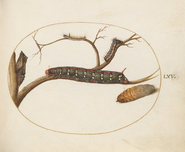 Plate 60: Leafy Spurge Hawkmoth Caterpillar, Pupae, and Other Caterpillars