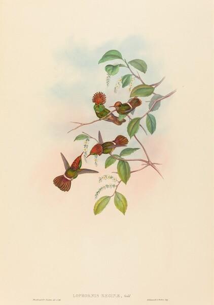 Lophornas reginae (Spangled Coquette)