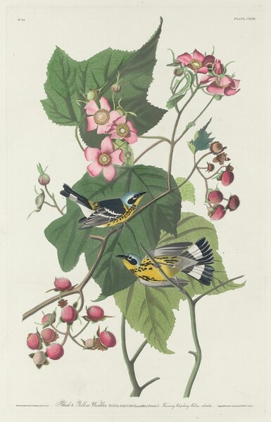 Black and Yellow Warbler