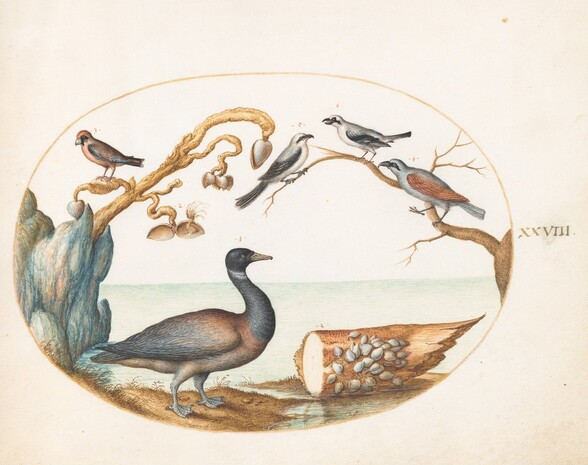 Plate 28: Barnacle Goose with Shrikes and Other Birds