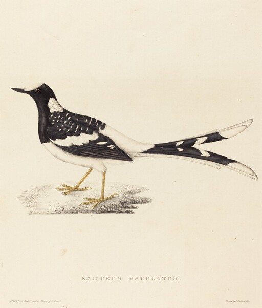 Enicurus Maculatus (Spotted Forktail)