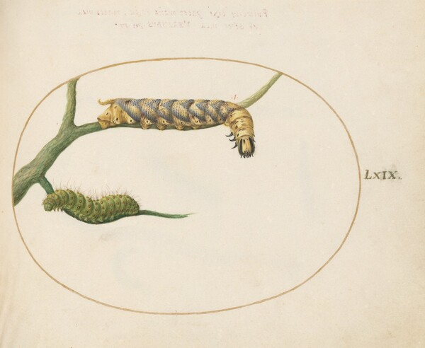 Plate 69: Emperor Moth Caterpillar with a Second Caterpillar on a Branch