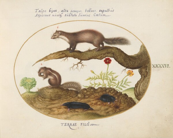 Plate 46: Stone Martin, Chimpmunk, and Moles with a Marigold and Lettuce