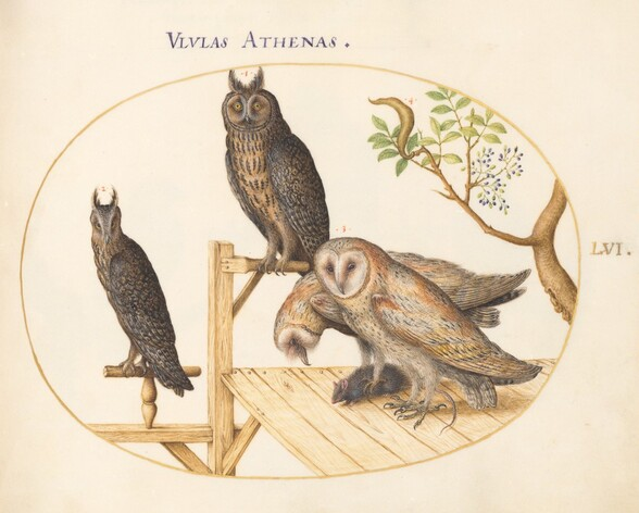 Plate 56: Barn Owls with a Mouse, Eagle Owl(?) and Another Owl