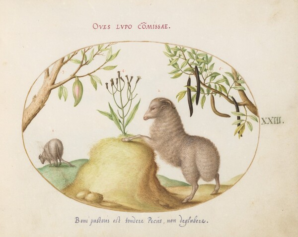Plate 23: A Fat-Tailed Sheep, a Sheep with a Long Tail, a Cassia purgatrix,and Other Plants