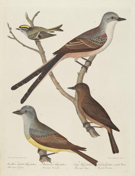 Swallow-tailed Flycatcher, Arkansas Flycatcher, Say