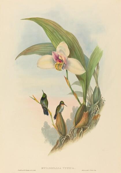 Myiabeillia typica (Abeille