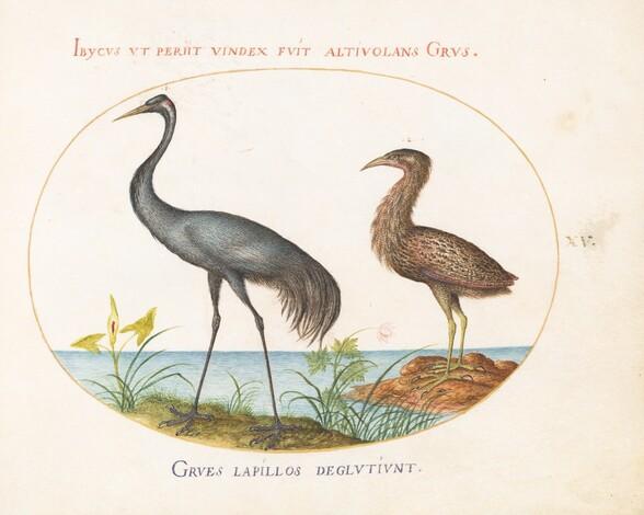Plate 15: Crane and Bittern(?)