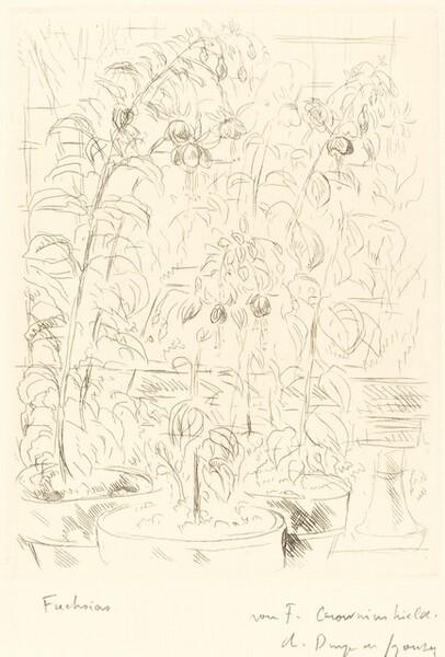 Fuchsias