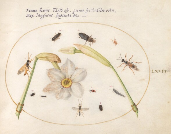 Plate 74: Insects with White Daffodils