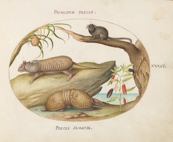 Plate 41: Two Types of Armadillos with a Marmoset, a Coconut Palm, and a Pepper Plant