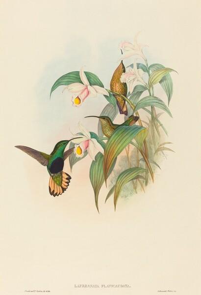 Lafresnaya flavicaudata (Buff-tailed Velvet-breast)
