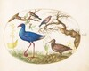 Plate 21: Swamp Hen and Woodcock with a Streaked Rosefinch, a Finch, and Oak Galls