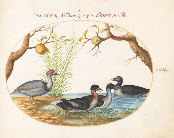 Plate 30: A Muscovy(?) Duck, a Four-Legged Duck, and Two Other Birds