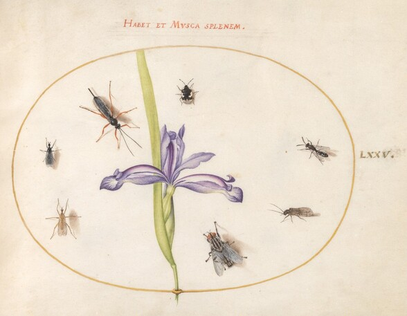 Plate 75: A Fly and Other Insects with an Iris