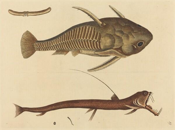 The Viper-mouth (Silurus cataphractus)