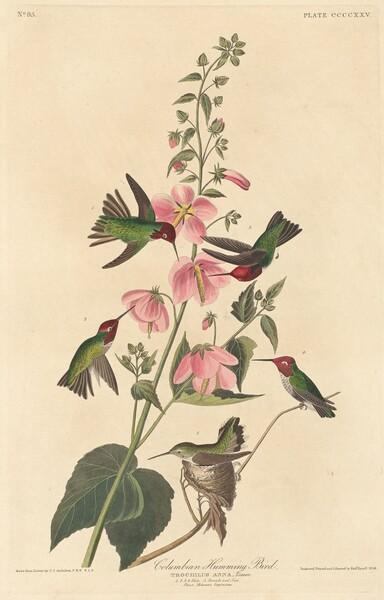 Columbian Humming Bird