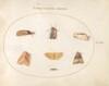 Plate 31: Seven Moths