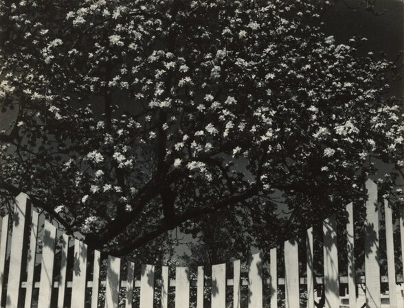 White Blossoms and Fence, Woodstock, New York