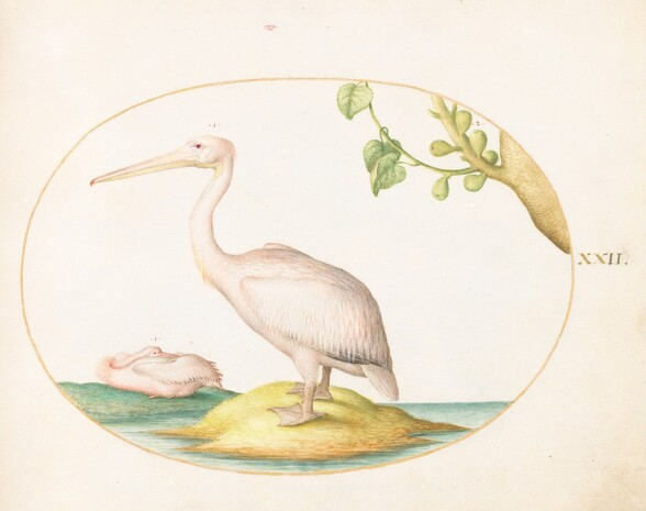 Plate 22: Two White Pelicans with a Sycamore Fig
