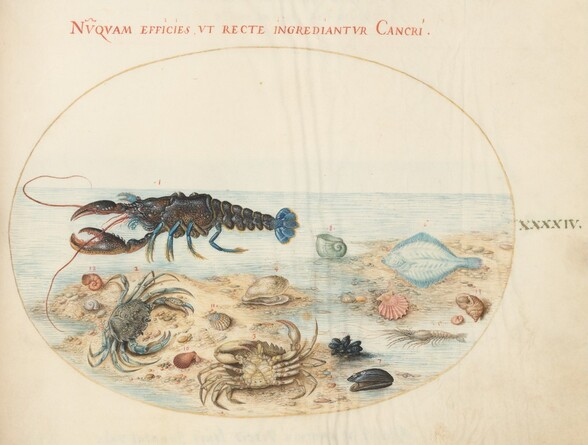 Plate 44: Lobster, Two Crabs, Scallop Shells, and Other Sea Life