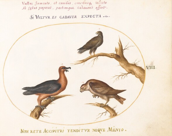 Plate 8: Bearded Vulture with Two Birds of Prey