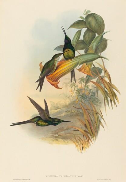 Eugenia imperatrix (Empress Hummingbird)