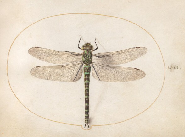 Plate 53: Southern Hawker Dragonfly