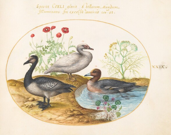 Plate 29: Geese with Poppies and a Cyclamen