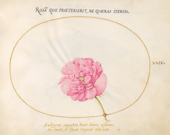 Plate 24: Pink Rose