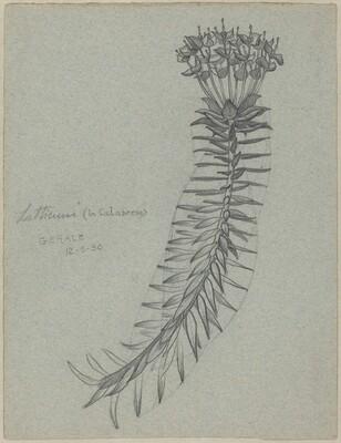 Latticuno (Euphorbia dendroides) (recto)