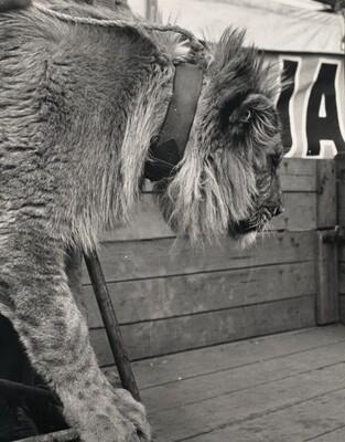 Untitled (Lion) (Bez názvu (Lev))