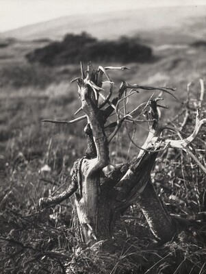 Tree Stump (Parez)