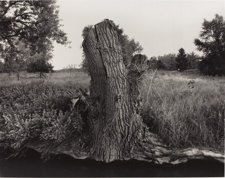 Cottonwood Stump Along Ditch No. 3, Cache la Poudre River Near Greeley, Colorado