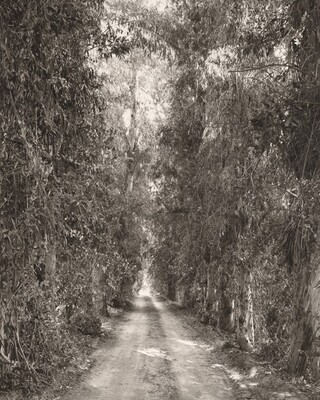 Eucalyptus alley through citrus orchards, Grand Terrace, California